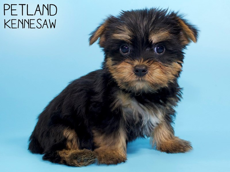 Silky Terrier-Male-Black / Tan-2951272-Petland Kennesaw