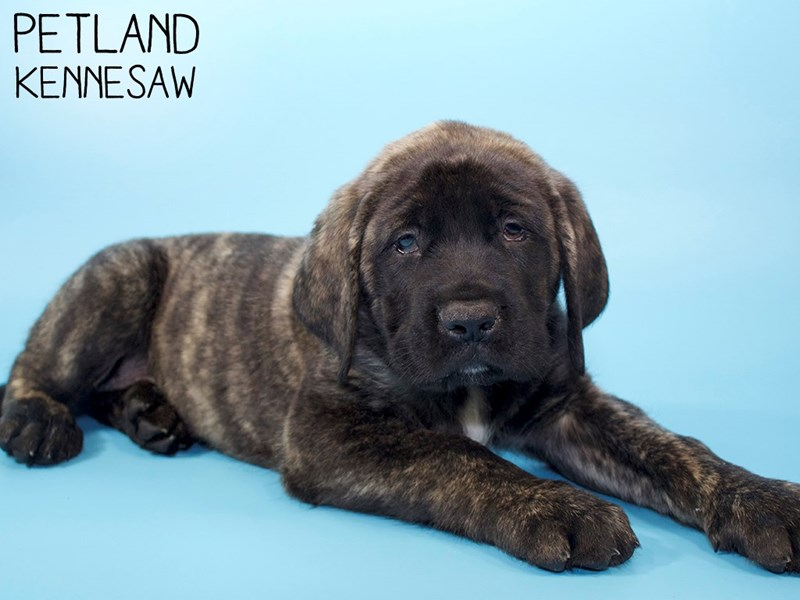 English Mastiff-Male-Brindle-2959054-Petland Kennesaw