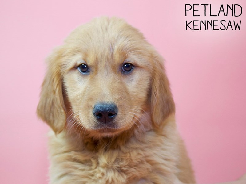 Golden Retriever-Female-Golden-2959051-Petland Kennesaw