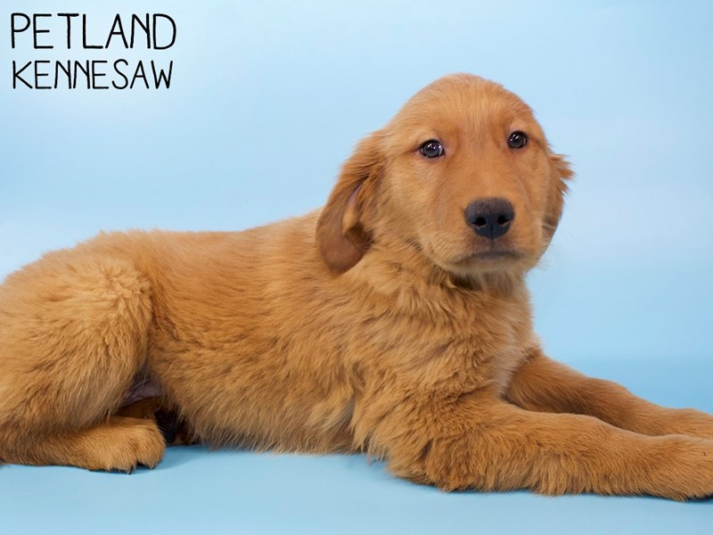 Golden Retriever-DOG-Male-Golden-2959052-Petland Kennesaw