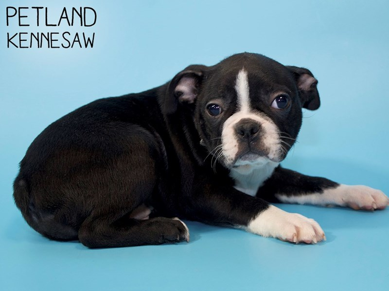 Boston Terrier-Male-BLK WH-2954947-Petland Kennesaw