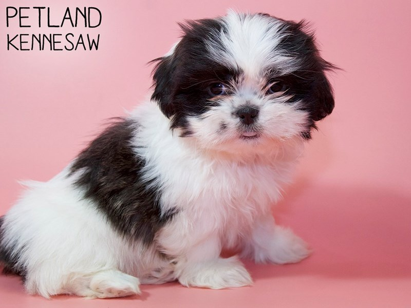 Shih Tzu-Female-BROWN WHITE-2954570-Petland Kennesaw