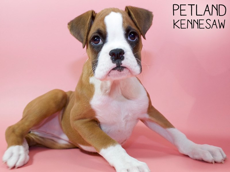 Boxer-Female-Fawn & White-2940784-Petland Kennesaw