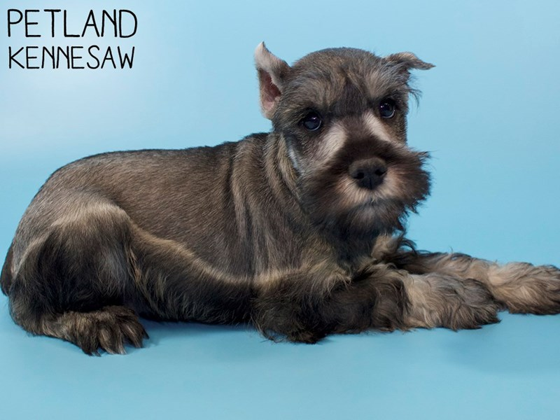 Miniature Schnauzer-Male-SALT PEPPER-2963296-Petland Kennesaw