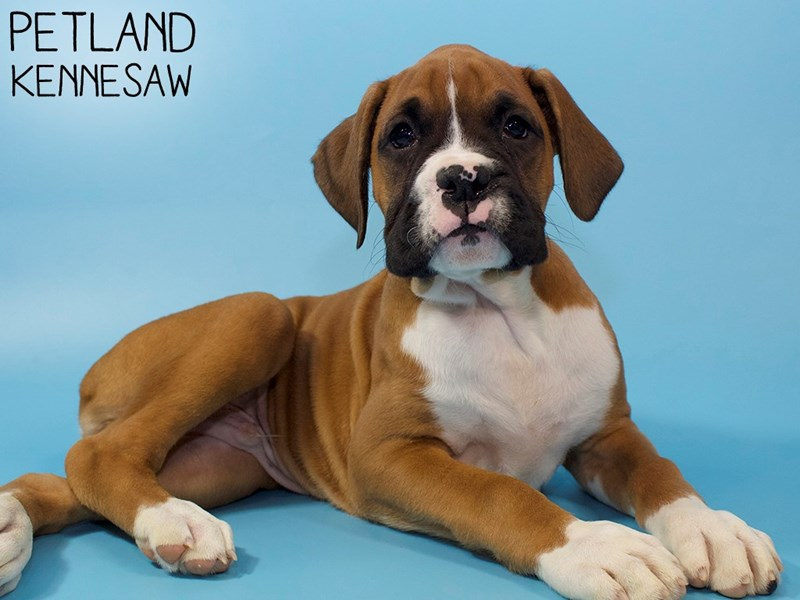 Boxer-Male-Fawn With Black Mask-2963349-Petland Kennesaw