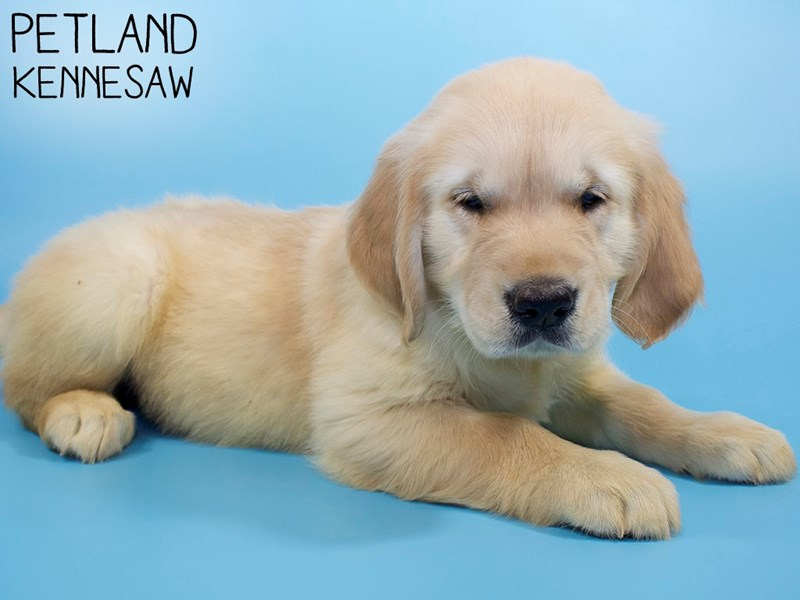 Golden Retriever-Male-LIGHT GOLDEN-2971481-Petland Kennesaw