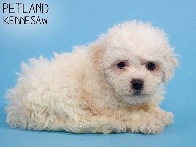 Teddy Bear-Male-Cream-2993196-Petland Kennesaw