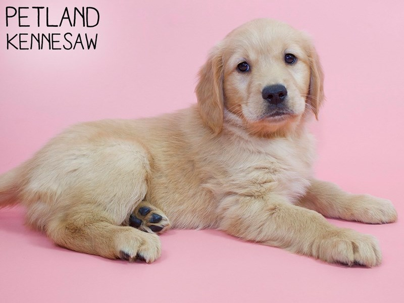 Golden Retriever-Female-Gold-2988528-Petland Kennesaw