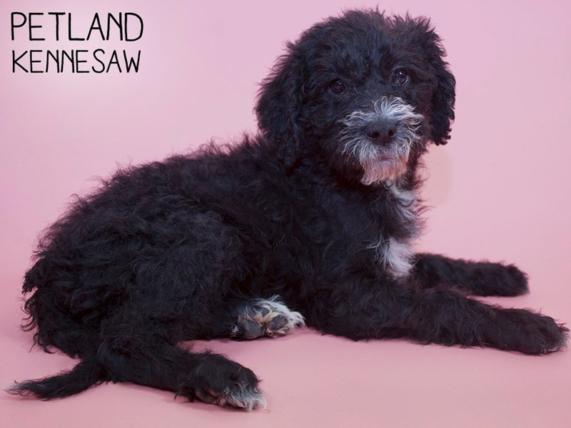 Labradoodle-Female-black-2988338-Petland Kennesaw