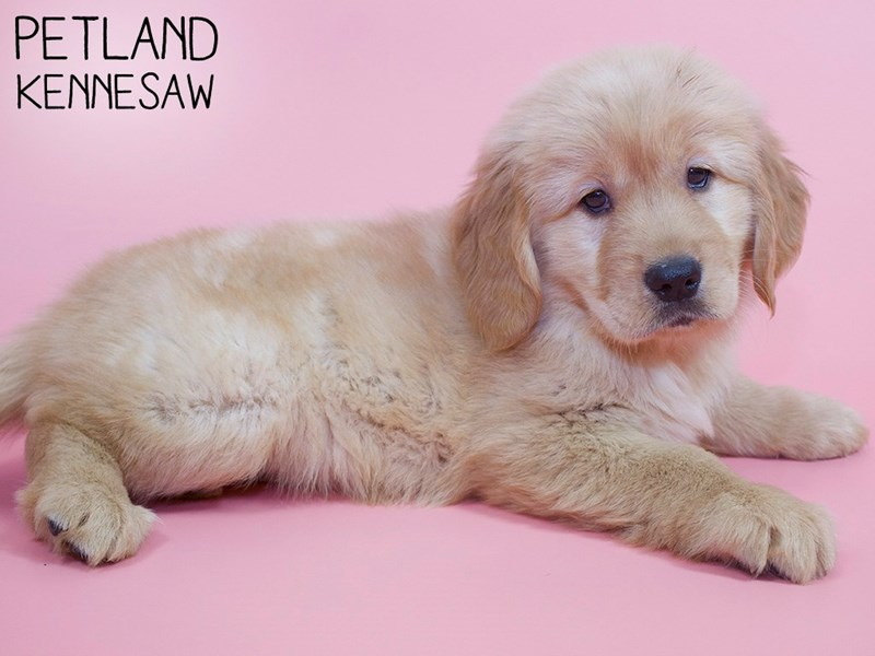 Golden Retriever-Female-Gold-2988526-Petland Kennesaw