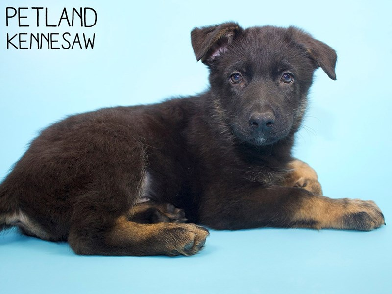 German Shepherd-Male-Black & Tan-2988204-Petland Kennesaw