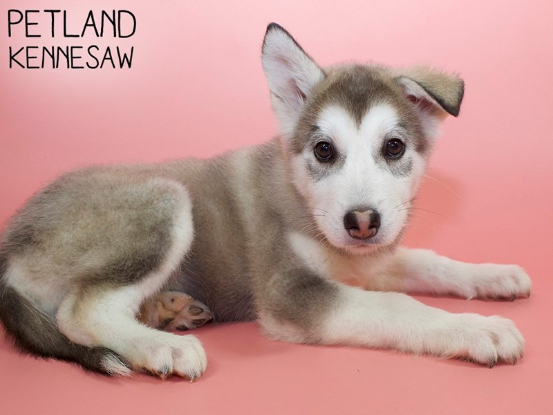 Alaskan Malamute-Female-Gray / White-3015396-Petland Kennesaw