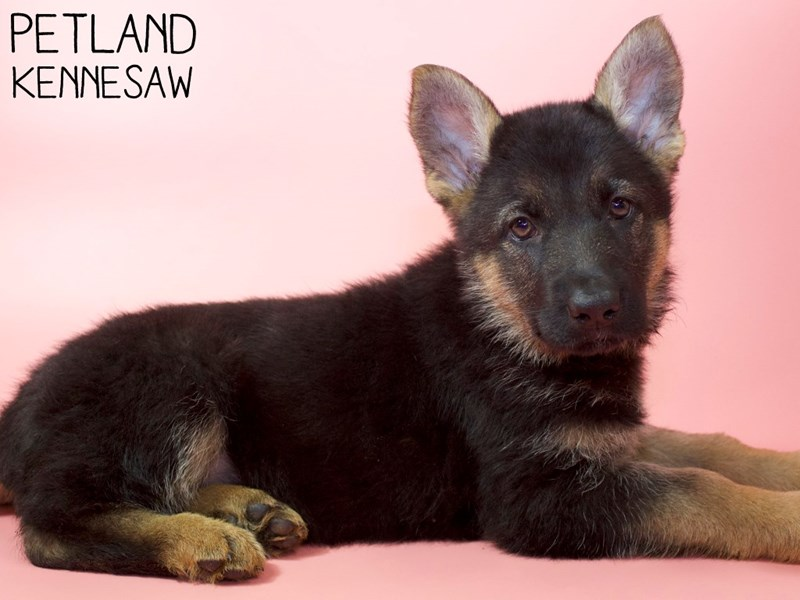 German Shepherd-Female-Black & Tan-2963293-Petland Kennesaw