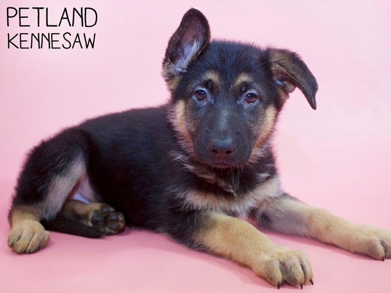 German Shepherd-Female-Black Tan-2979630-Petland Kennesaw