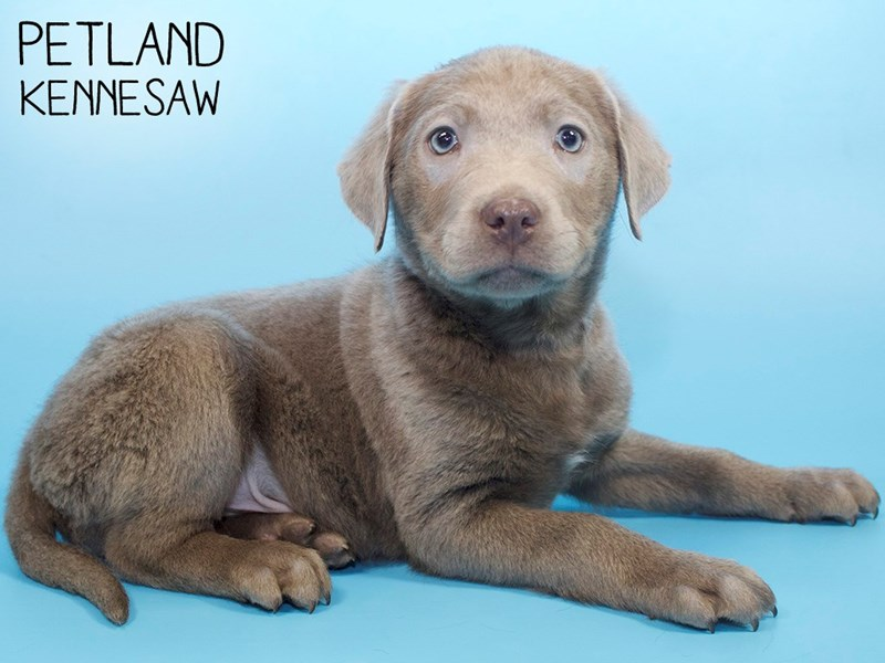 Labrador Retriever-Male-Silver-3015382-Petland Kennesaw