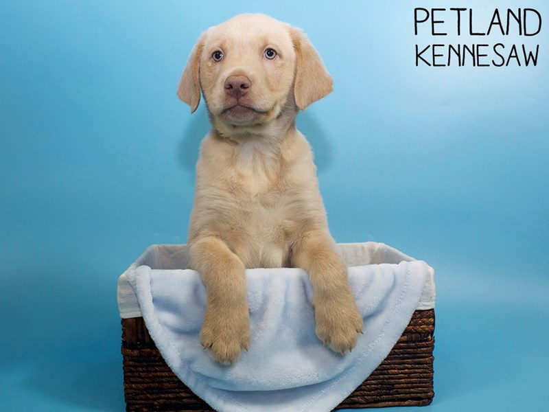 Labrador Retriever-Male-Yellow-3045263-Petland Kennesaw