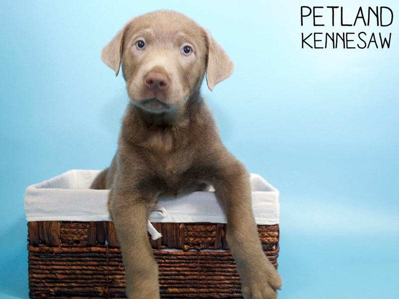 Labrador Retriever-Male-Silver-3045264-Petland Kennesaw