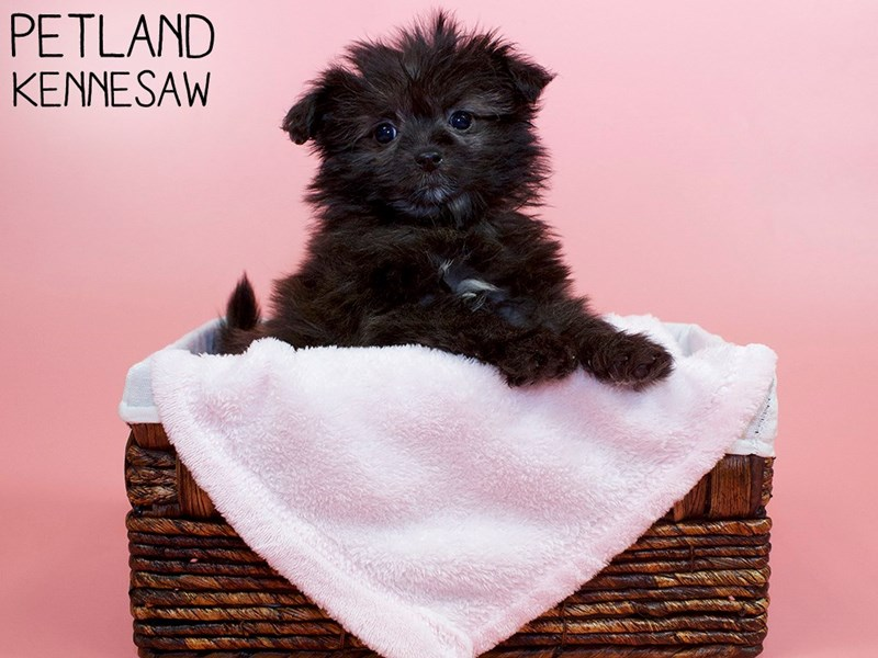 Pomapoo-Female-Brindle-3055823-Petland Kennesaw