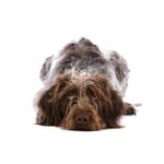 Petland Kennesaw German Wirehaired Pointer