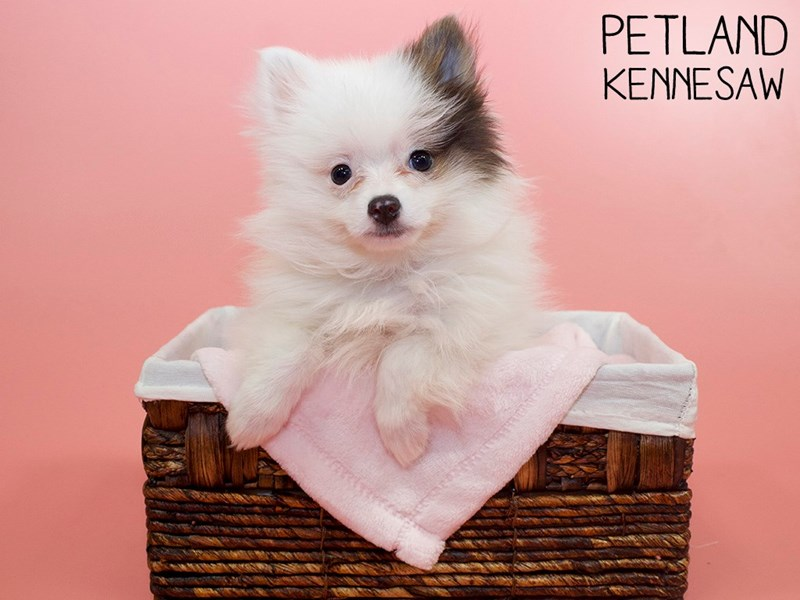 Pomeranian-Female-White and Brown-3025404-Petland Kennesaw