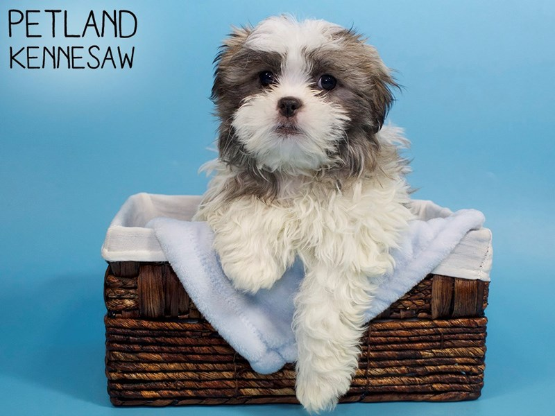 Teddy Bear-Male-Brindle / White-3045246-Petland Kennesaw