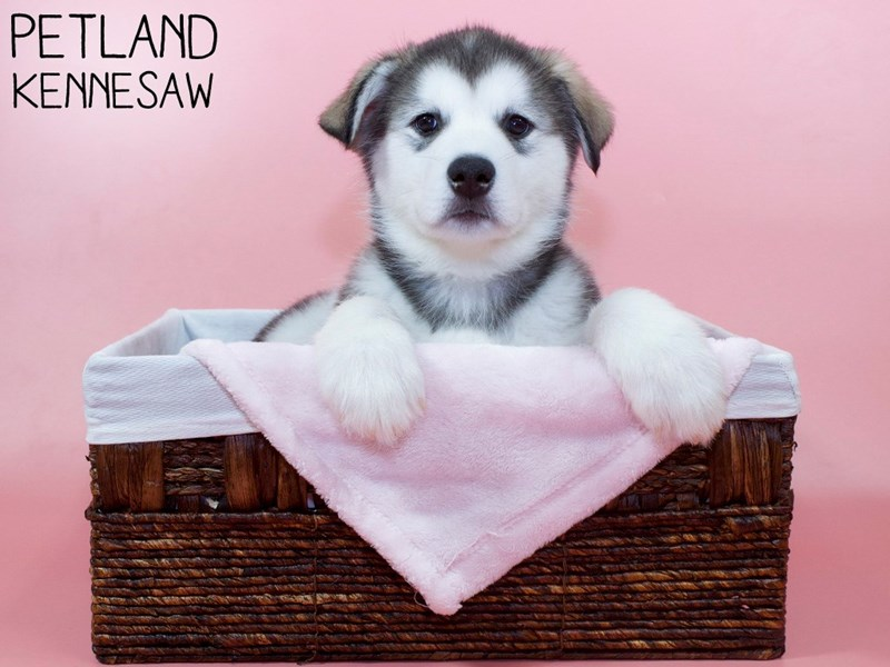 Alaskan Malamute-Female-Sable / White-3066784-Petland Kennesaw