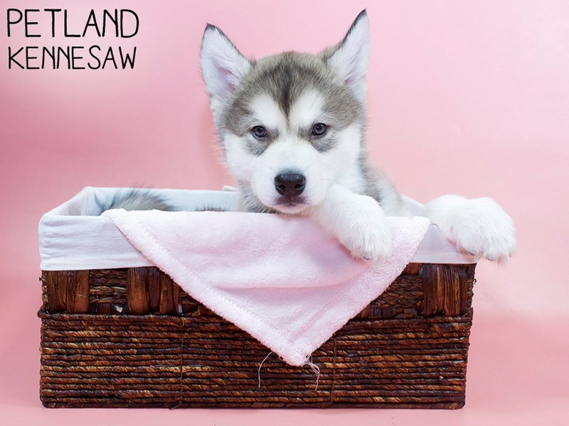 Alaskan Malamute-Female-Sable / White-3066783-Petland Kennesaw