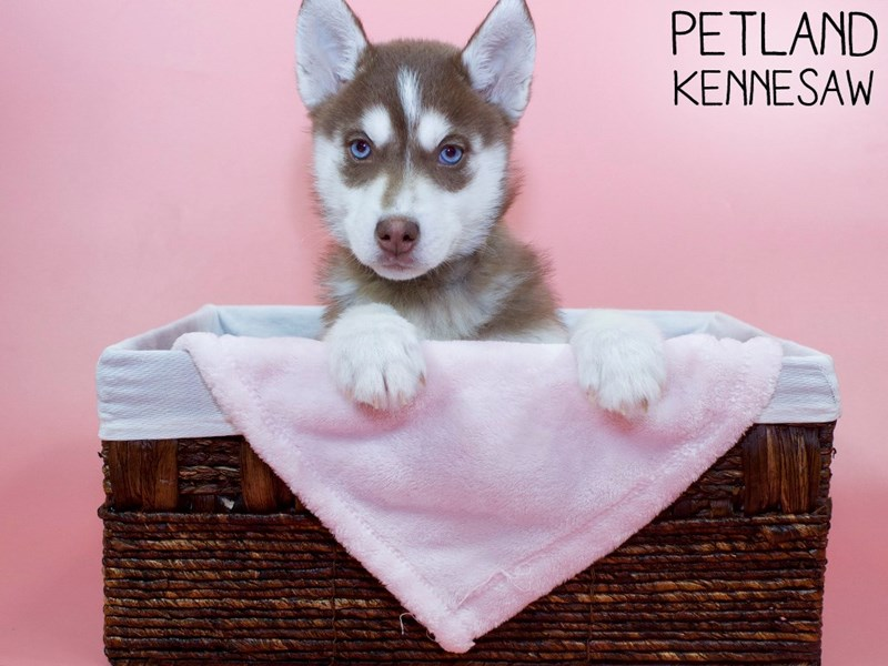 Siberian Husky-Female-Red / White-3066773-Petland Kennesaw