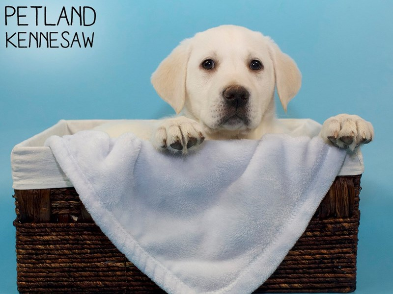 Labrador Retriever-Male-Yellow-3066828-Petland Kennesaw