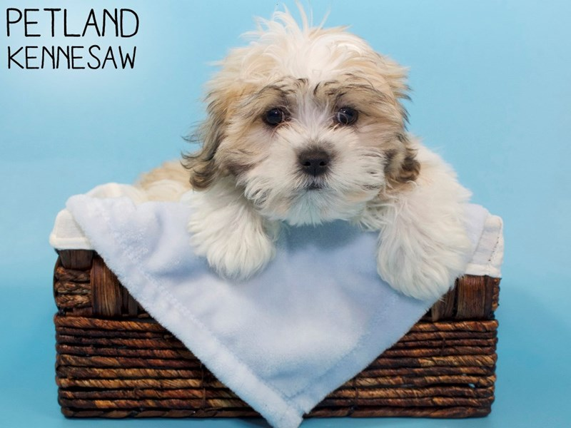 Teddy Bear-Male-Gold / White-3066778-Petland Kennesaw