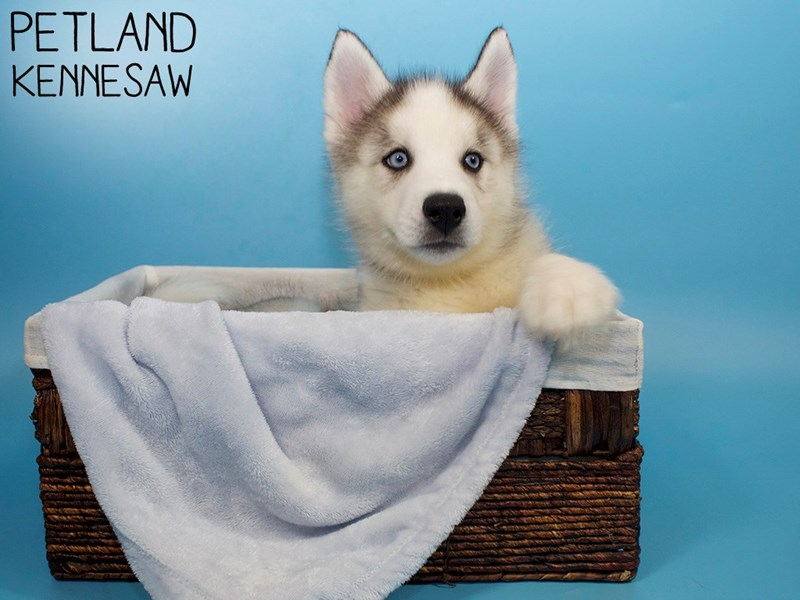 Siberian Husky-Male-Gray / White-3078204-Petland Kennesaw
