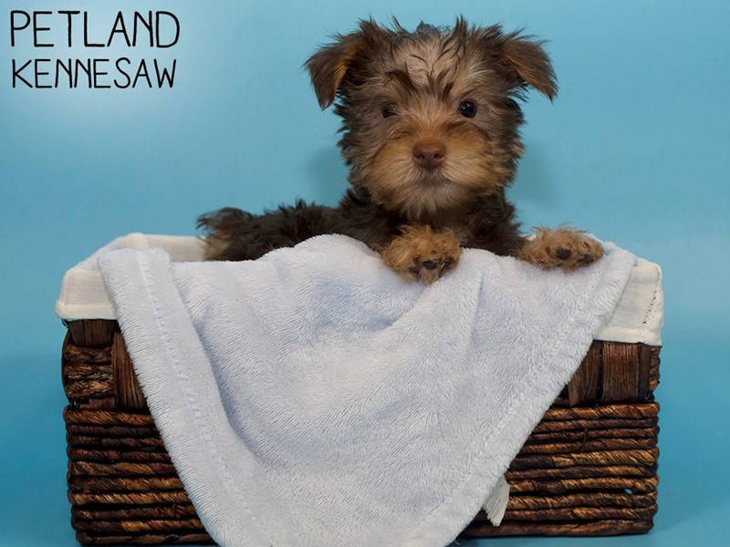Silky Terrier-Male-Chocolate / Tan-3078193-Petland Kennesaw