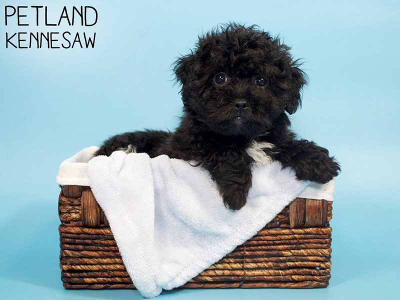 Teddy Bear-Male-Black-3078190-Petland Kennesaw