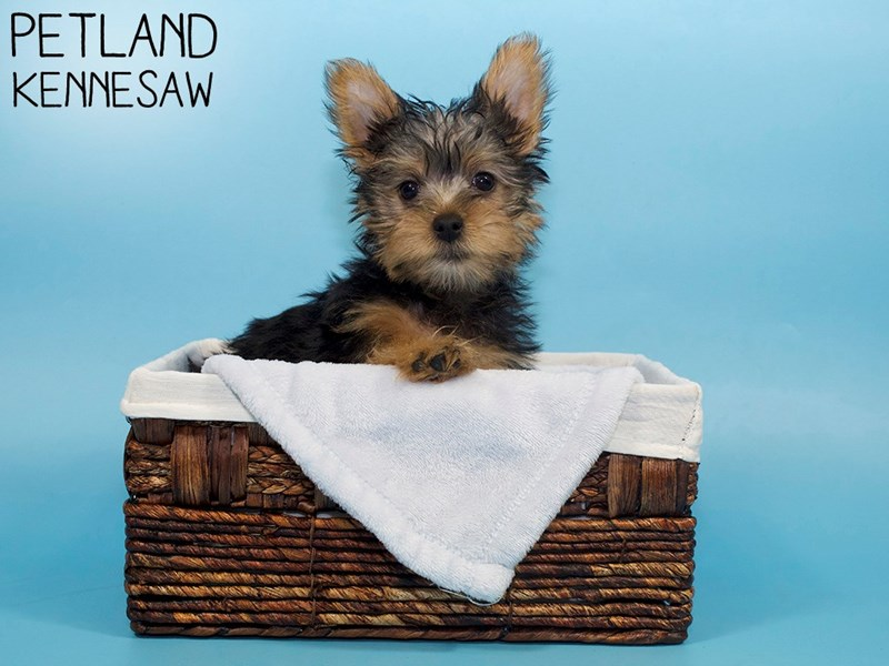 Silky Terrier-Male-Black / Tan-3088270-Petland Kennesaw