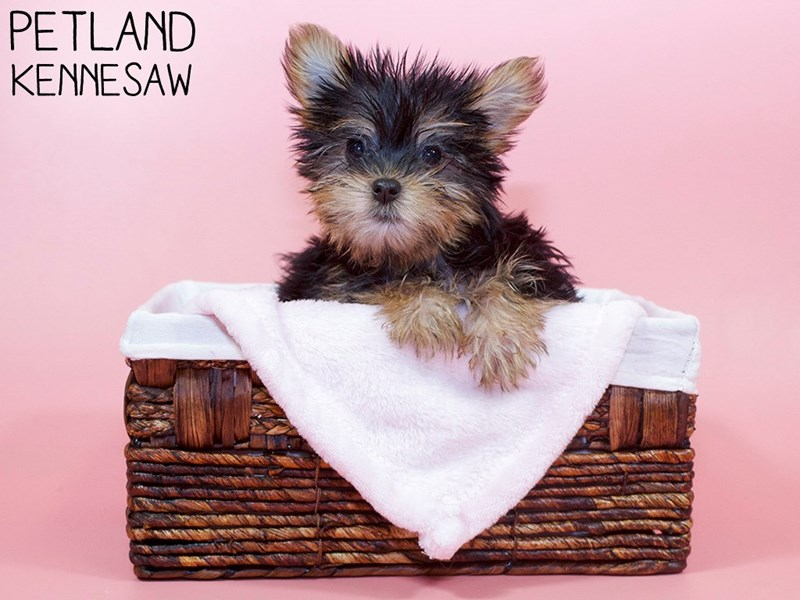 Silky Terrier-Female-Black / Tan-3110393-Petland Kennesaw