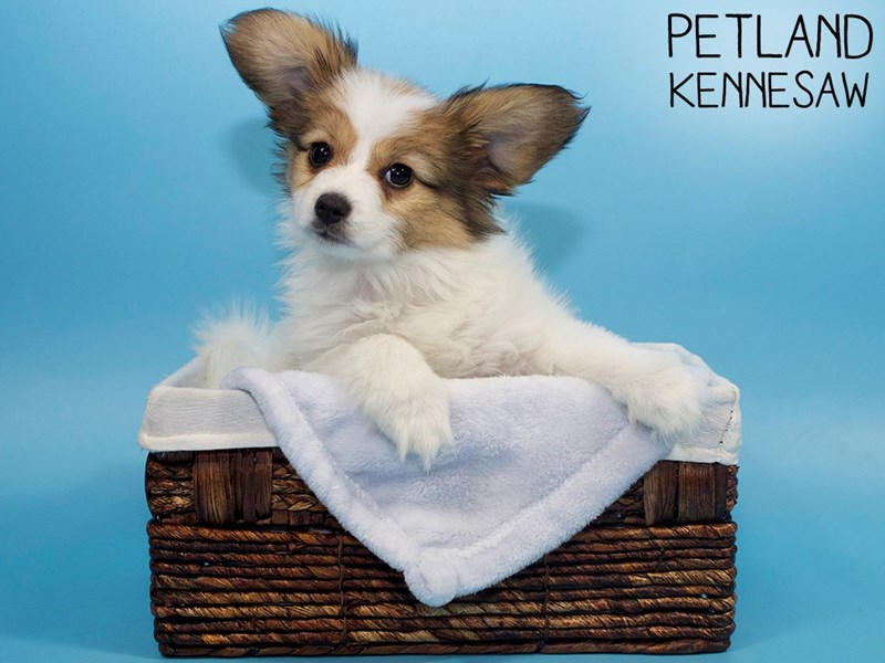 Papillon-Male-Red / White-3131581-Petland Kennesaw