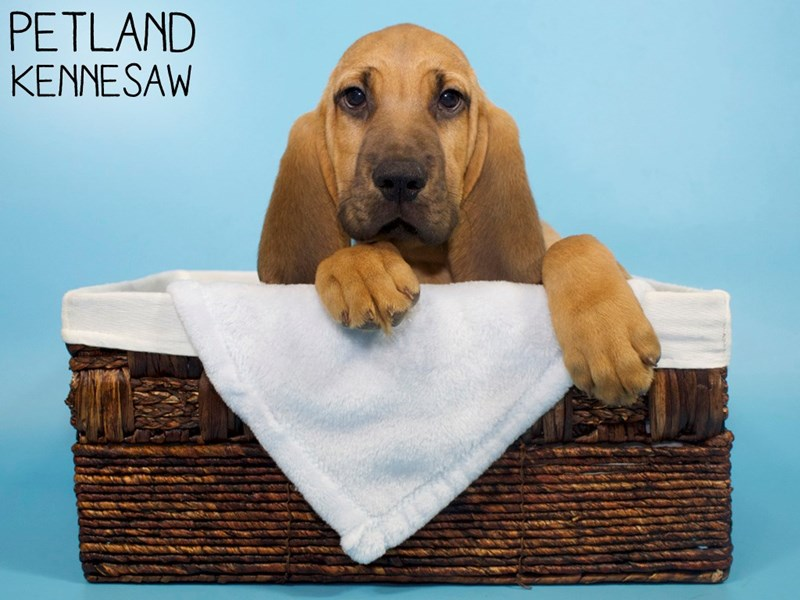 Bloodhound-Male-Red-3121134-Petland Kennesaw