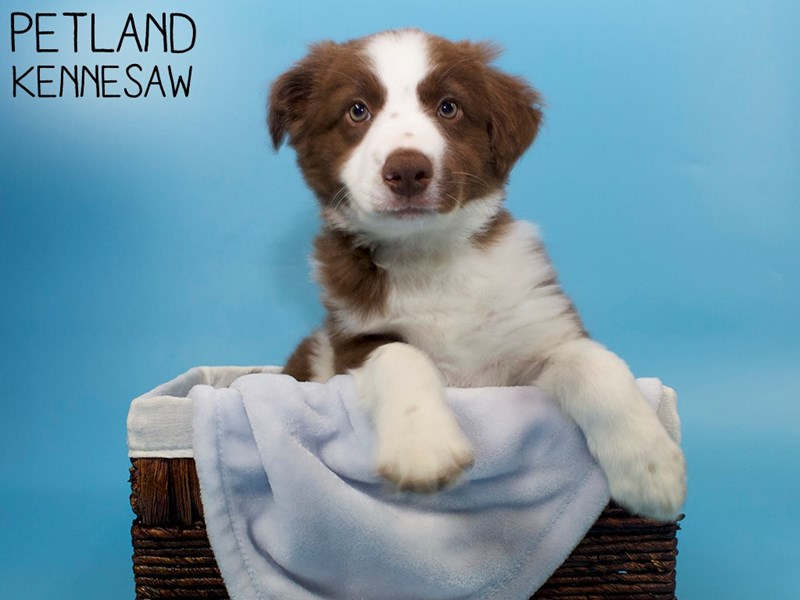 Border Collie-Male-Red / White-3142489-Petland Kennesaw