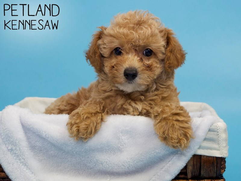 Miniature Poodle-Male-red-3227746-Petland Kennesaw