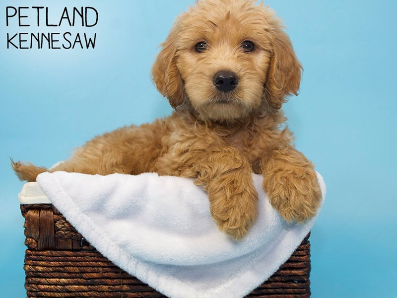 Labradoodle-Male-Red-3256703-Petland Kennesaw