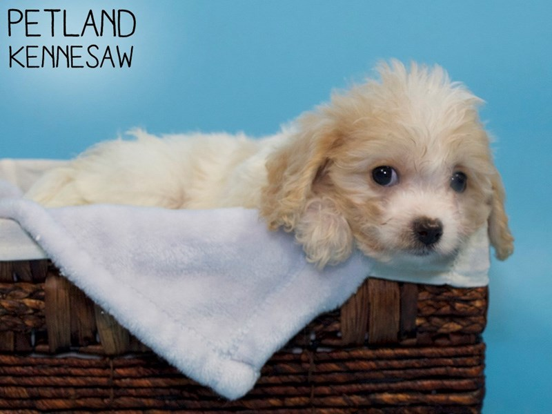 Cavachon-Male-RED WH-3311887-Petland Kennesaw