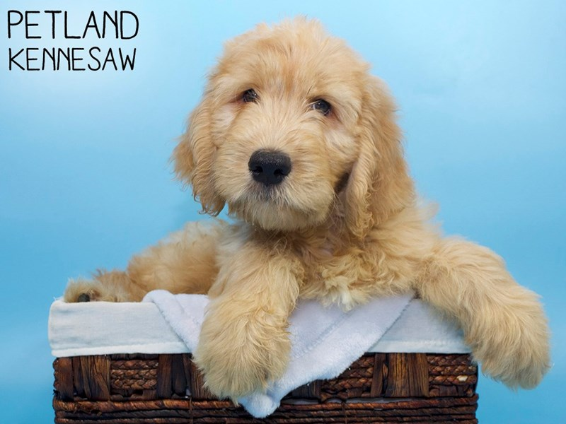 Goldendoodle-Male-Red-3311918-Petland Kennesaw