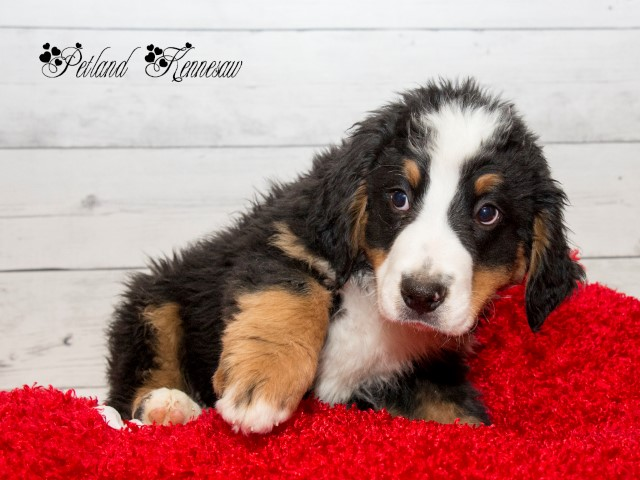 Bernese Mountain Dog Puppies Atlanta