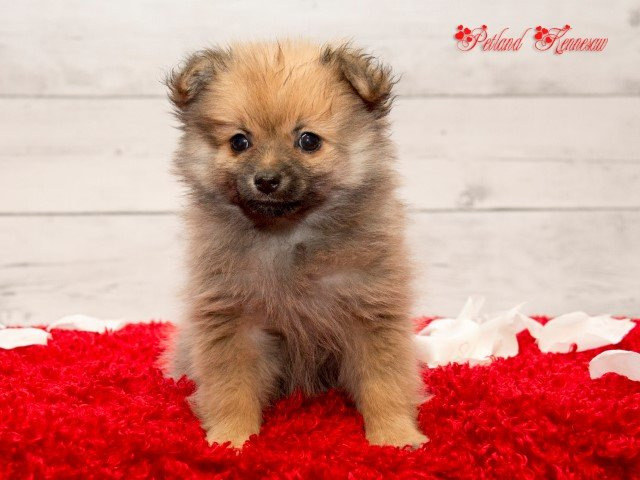 Adopted  Pomeranian 71059